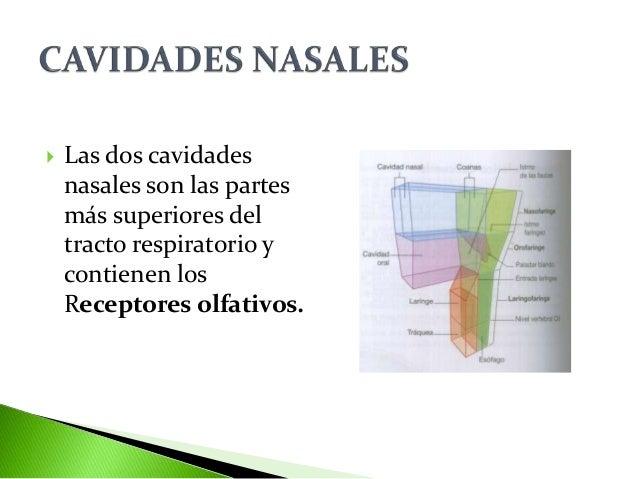 Cavidades nasales Slide 2