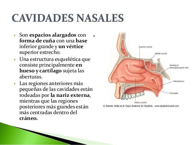 cavidades-nasales-3-638.jpg?cb=1464716198