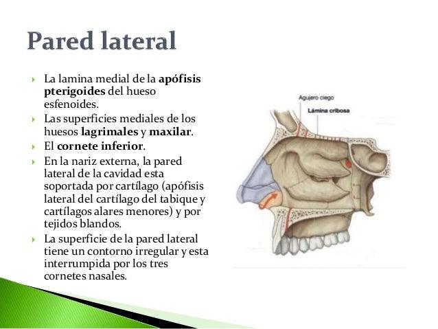 Cavidades nasales for Pared lateral de la cavidad nasal