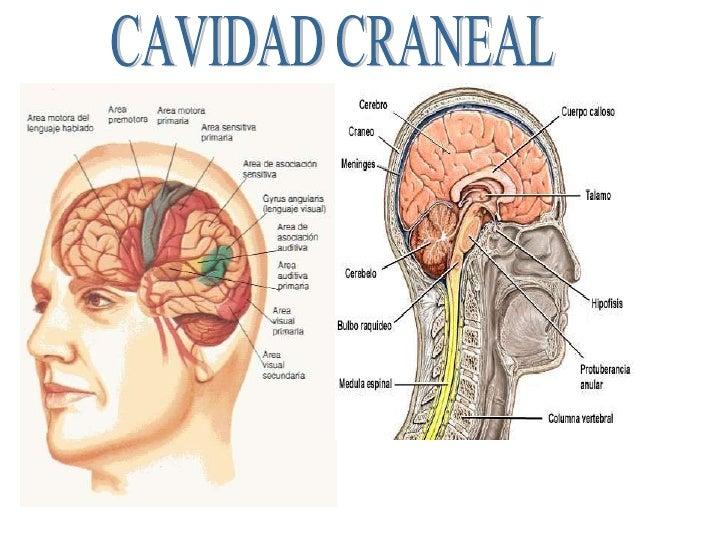 Excepcional Anatomía Cavidad Craneal Composición - Anatomía de Las ...