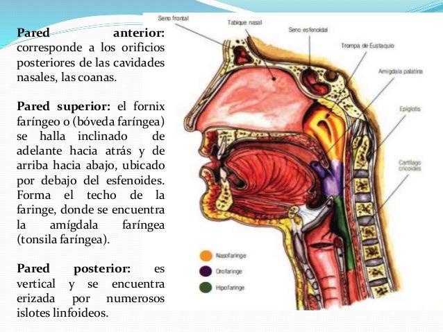 Cavidad far ngea nasofaringe y orofaringe for Pared lateral de la cavidad nasal
