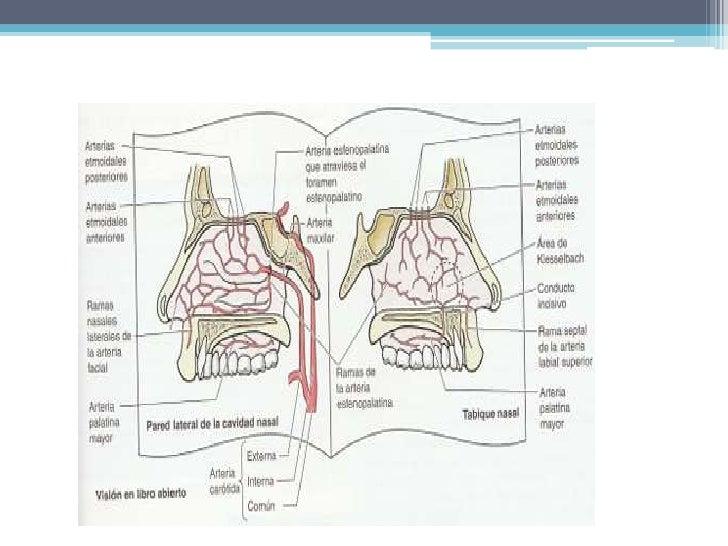 Mucosa nasal adherida en el periostio y pericondrio.