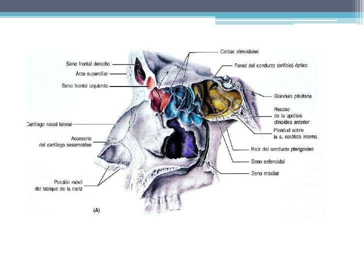 La nariz externa recibe irrigación de la 1 y 5 además de las ramas nasales de la infraorbitaria y facial.</li></li></ul><li>