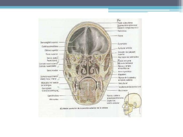 INERVACION<br /><ul><li>Posteroinferior: principalmente nervio maxilar, tabique (nervio nasopalatino), pared lateral (ramo...