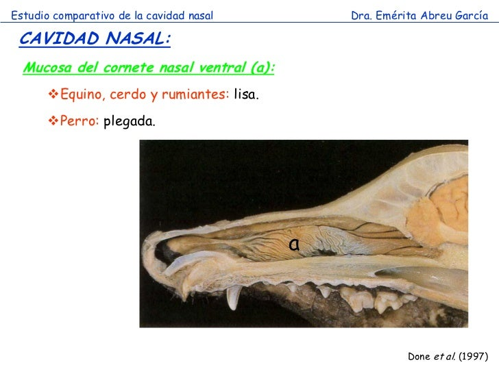 10564440 moreover Nn0107 15 F1 in addition 11548824 together with Cavidad Nasal  parada also Overview Of The Central Nervous System Gross Anatomy Of The Brain Part 3. on dorsal ventral caudal rostral in