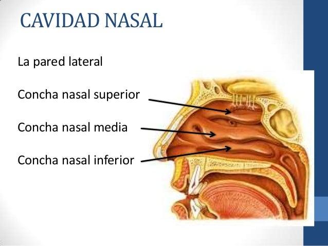 End cavidad nasal for Pared lateral de la cavidad nasal