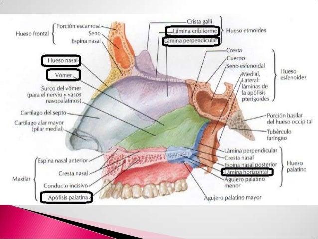 Cavidad nasal y senos paranasales