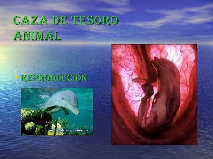 CAZA DE TESORO ANIMAL <ul><li>REPRODUCCIÓN </li></ul>