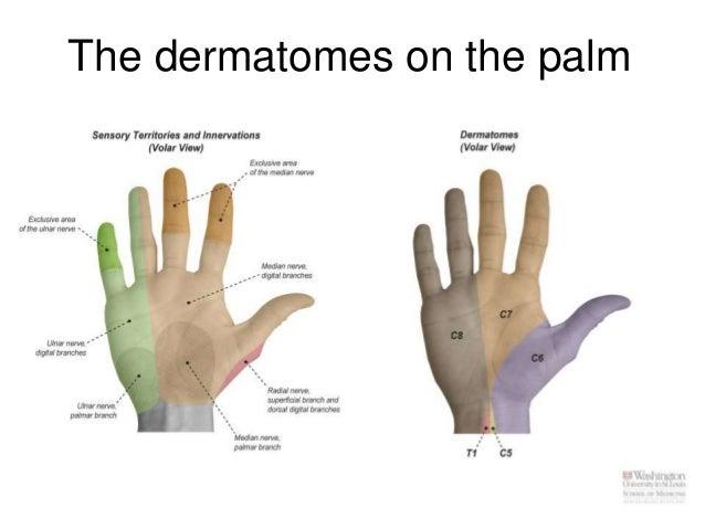 Dermatomes Hand Cbl cubital fossa, for...