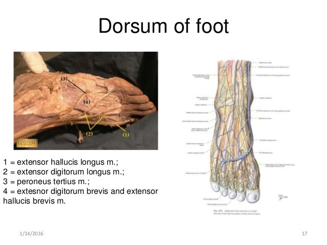 cbl popliteal fossa,leg and foot, Cephalic Vein