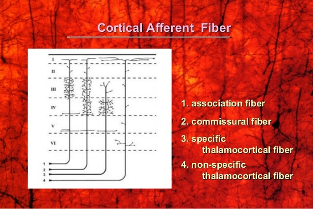 Cortical Afferent FiberCortical Afferent Fiber 1. association fiber1. association fiber 2. commissural fiber2. commissural...