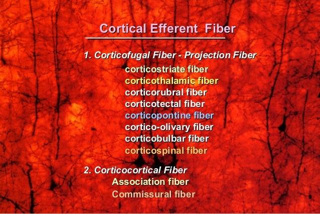 1. Corticofugal Fiber - Projection Fiber1. Corticofugal Fiber - Projection Fiber corticostriate fibercorticostriate fiber ...