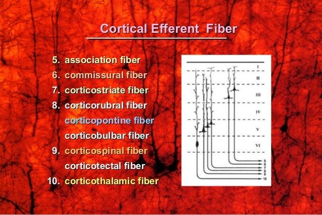 5.5. association fiberassociation fiber 6.6. commissural fibercommissural fiber 7.7. corticostriate fibercorticostriate fi...