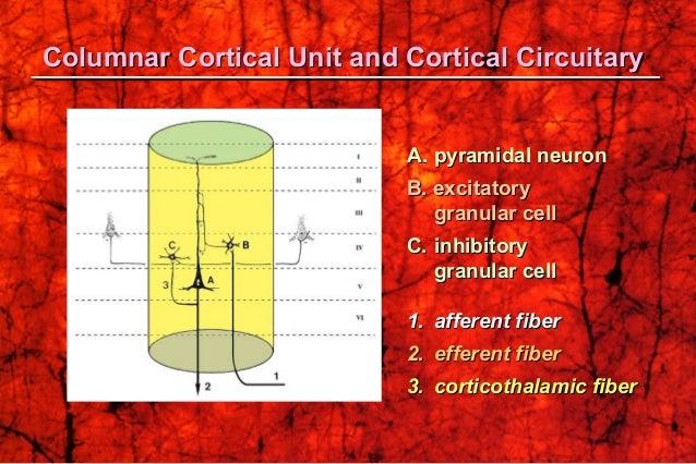 A.A. pyramidal neuronpyramidal neuron B. excitatoryB. excitatory granular cellgranular cell C.C. inhibitoryinhibitory gran...