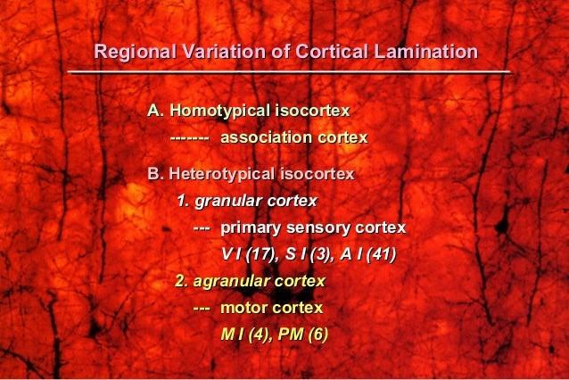 A.A. Homotypical isocortexHomotypical isocortex -------------- association cortexassociation cortex B. Heterotypical isoco...