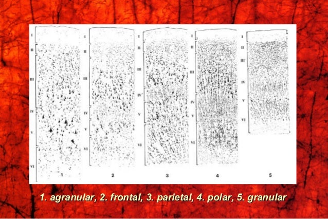 1. agranular, 2. frontal, 3. parietal, 4. polar, 5. granular1. agranular, 2. frontal, 3. parietal, 4. polar, 5. granular