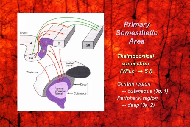 ThalmocorticalThalmocortical connectionconnection (VPLc(VPLc →→ S I)S I) Central regionCentral region --- cutaneous (3b, 1...