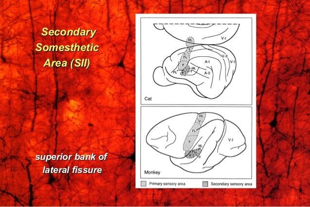 SecondarySecondary SomestheticSomesthetic Area (SII)Area (SII) superior bank ofsuperior bank of lateral fissurelateral fis...