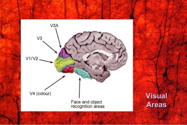 VisualVisual AreasAreas