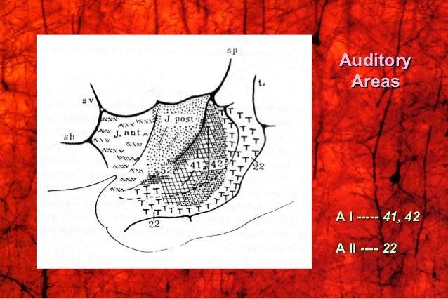 AuditoryAuditory AreasAreas A I -----A I ----- 41, 4241, 42 A II ----A II ---- 2222
