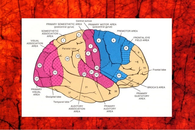 primary Motor Area (M I)primary Motor Area (M I) Premotor Area (PM)Premotor Area (PM) Supplementary Motor Area (SMA)Supple...
