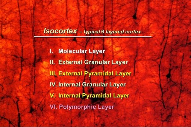 IsocortexIsocortex –– typicaltypical 66 layered cortexlayered cortex I.I. Molecular LayerMolecular Layer II.II. External G...