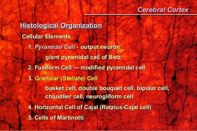 Histological OrganizationHistological Organization Cellular ElementsCellular Elements 1.1. Pyramidal CellPyramidal Cell --...