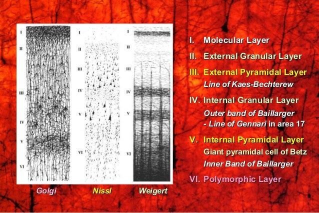 I.I. Molecular LayerMolecular Layer II.II. External Granular LayerExternal Granular Layer III.III. External Pyramidal Laye...