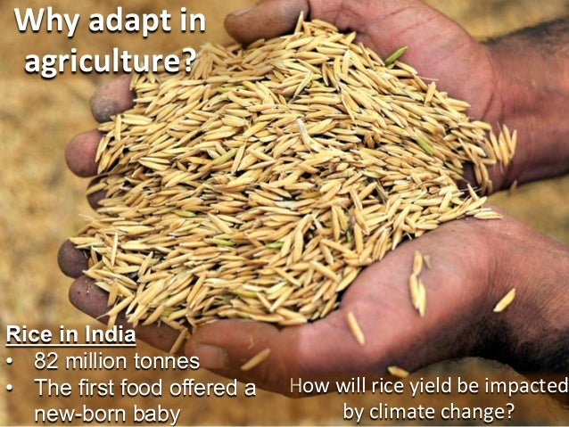 Why  adapt  in   agriculture?    Rice in India • 82 million tonnes • The first food offered a new-born baby  How...