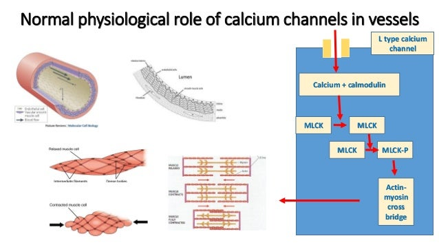 calcium channel blockers, Skeleton