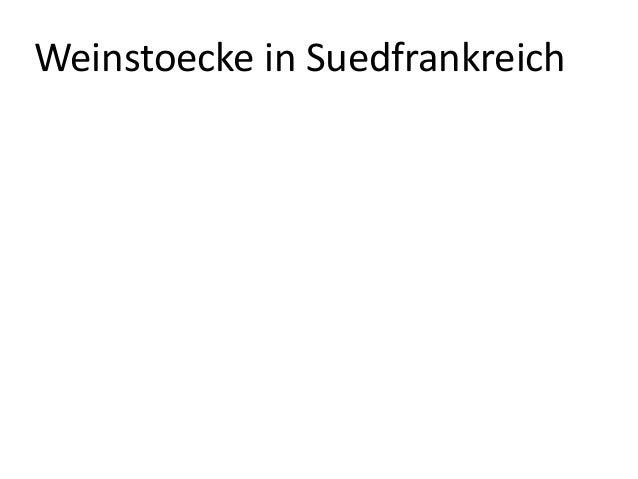 Weinstoecke in Suedfrankreich