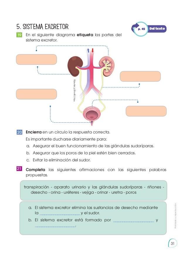 Dorable Vejiga Diagrama Hembra Elaboración - Imágenes de Anatomía ...