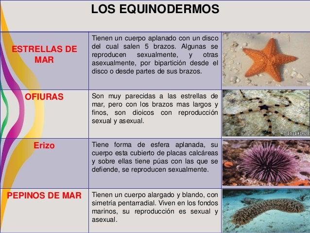 Reproduccion asexual de los erizos de mar