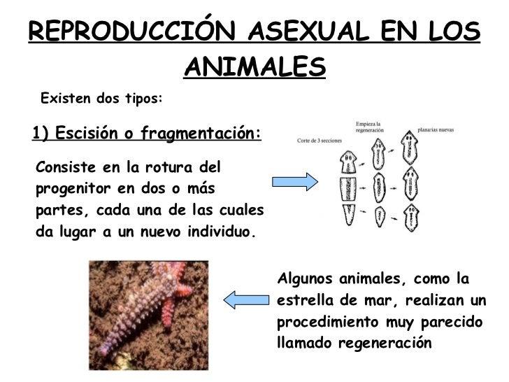 Reproduccion asexual escision wikipedia