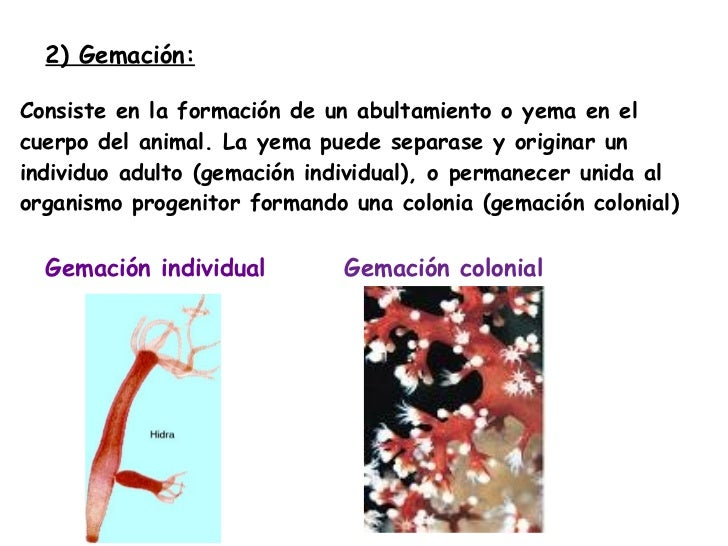 2 clases de reproduccion asexual gemacion