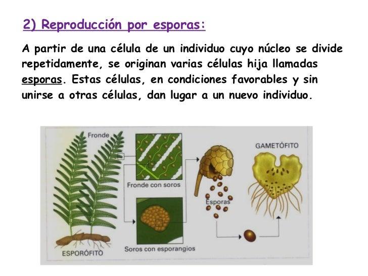 Reproduccion asexual esporulacion plantas