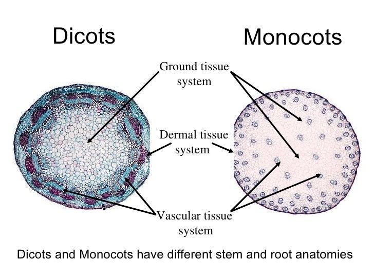 Contemporary Anatomy Of Monocot And Dicot Stem Inspiration Anatomy