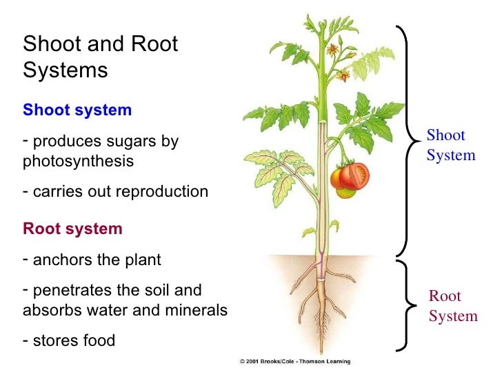 Plant stem diagram system online schematic diagram plant tissues rh slideshare net plant anatomy diagram parts of a plant stem ccuart Choice Image