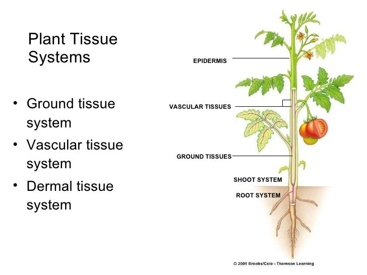 vascular tissue in plants consists of The entire surface of the plant consists of a single layer of cells called epidermis or surface tissue xylem serves as a chief conducting tissue of vascular plants.