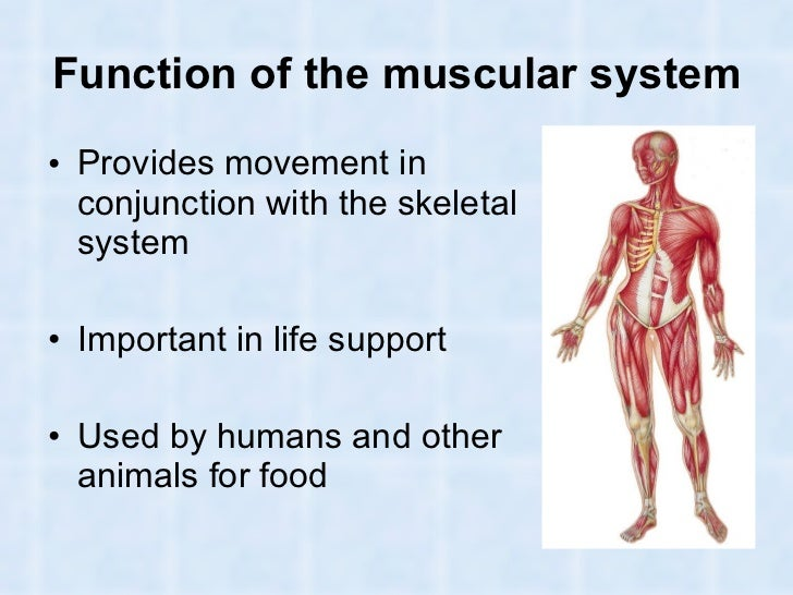 muscles and muscular system in humans and animals, Human Body