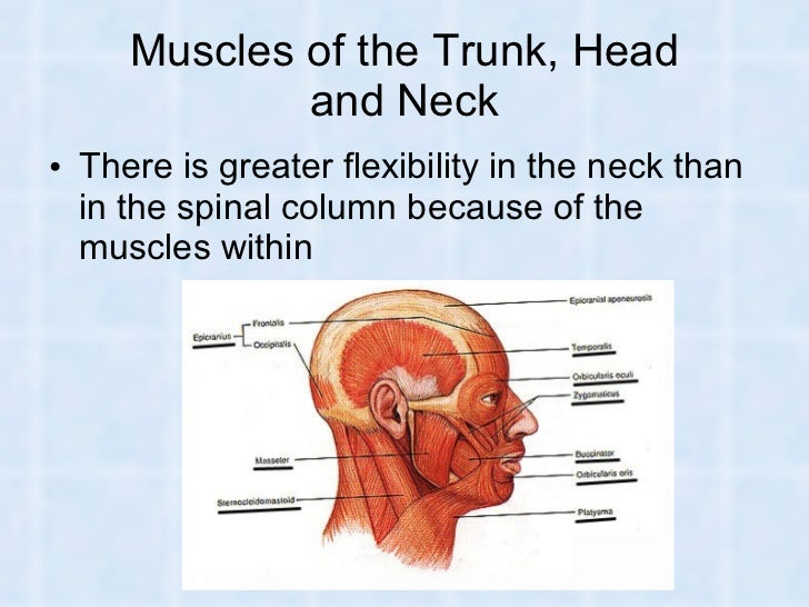 Muscles And Muscular System In Humans And Animals