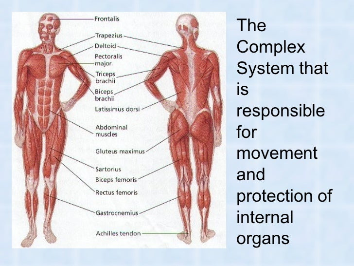 muscles and muscular system in humans and animals, Muscles