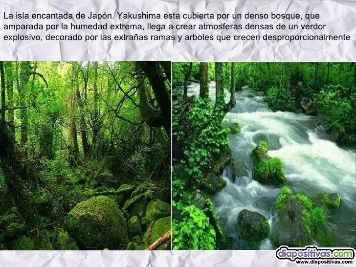 La isla encantada de Japón. Yakushima esta cubierta por un denso bosque, que amparada por la humedad extrema, llega a crea...