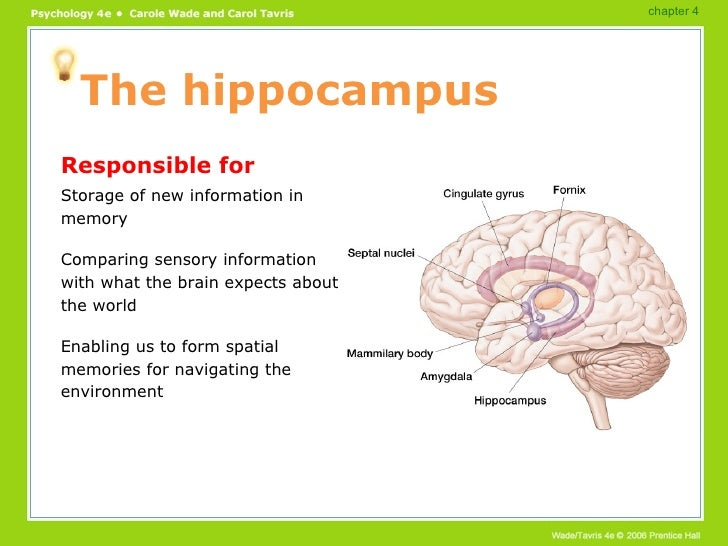 Brain functions powerpoint 26 the hippocampus ccuart Choice Image
