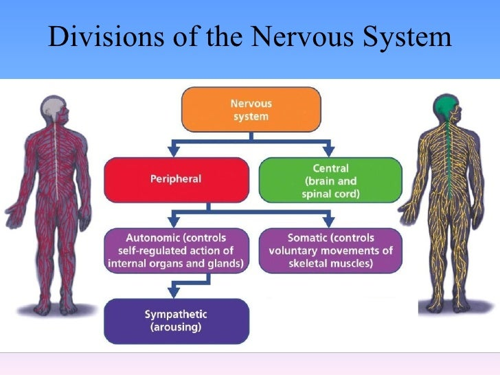 psychology the nervous system The nervous system can be divided into two major subdivisions: the central  nervous system (cns) and the peripheral nervous system (pns), shown in [link.