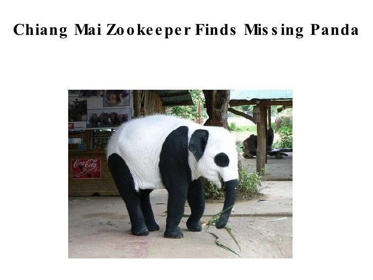 Chiang Mai Zookeeper Finds Missing Panda