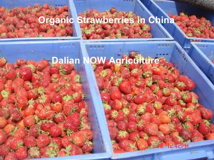 Organic Strawberries in China  Dalian NOW Agriculture