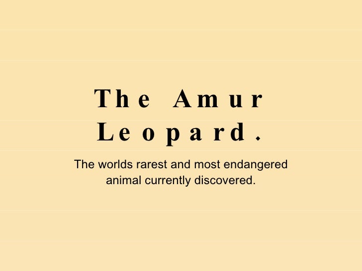 The Amur Leopard. The worlds rarest and most endangered animal currently discovered.
