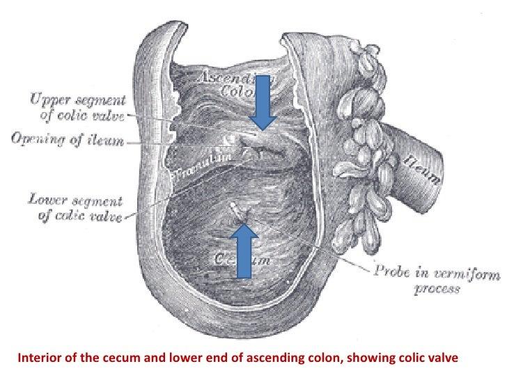 anatomy of gastrointestinal tract pdf