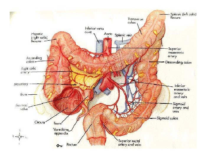 Anatomy Of Large And Small Intestine Image collections - human body ...